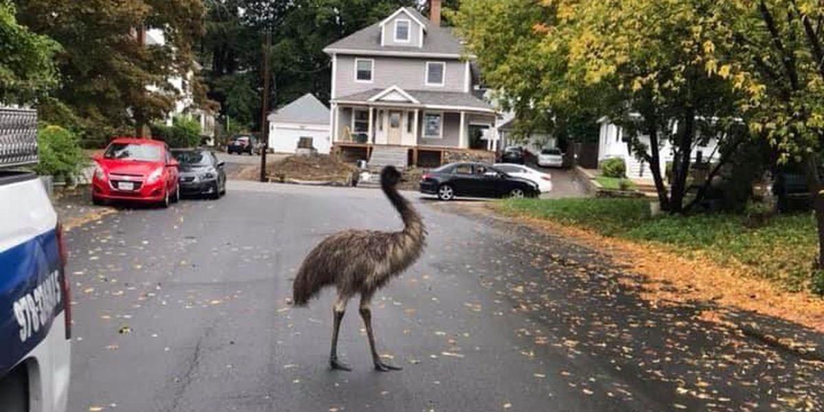 Is that an emu? Giant bird roams around Boston suburb