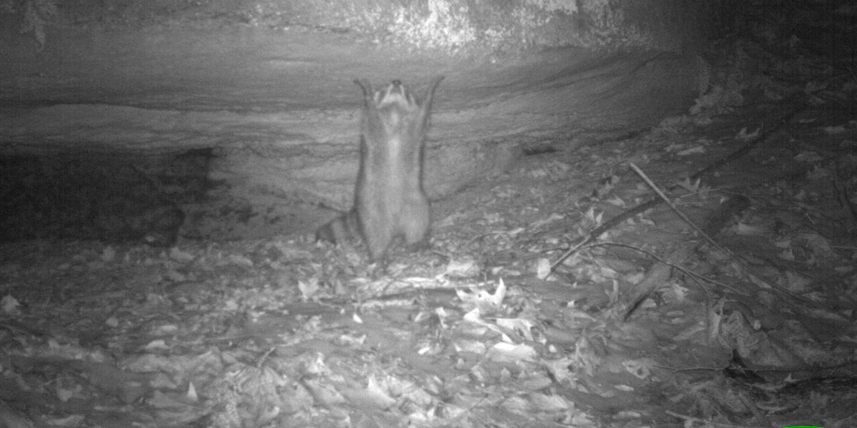World's most excited raccoon, captured by Summit Metro Parks camera, takes social media by storm (photo)