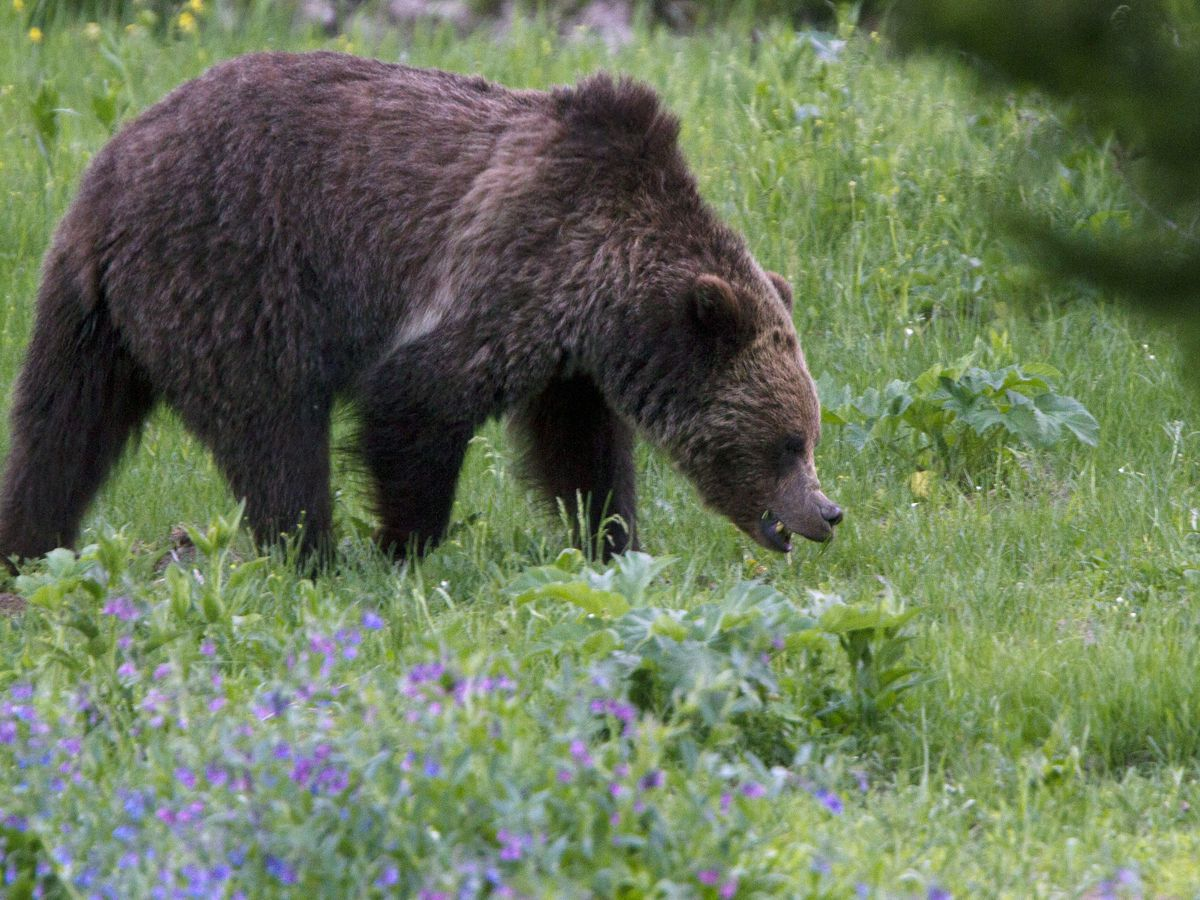Mansfield man killed by grizzly bear during hunting trip in Alaska