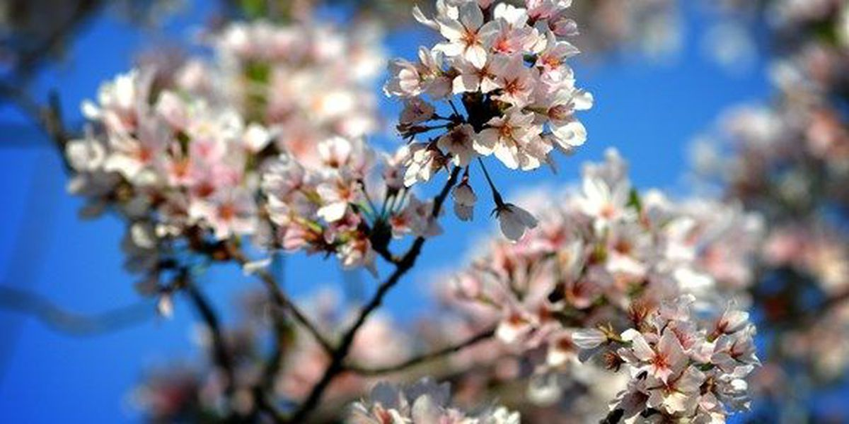 Cleveland Cherry Blossoms Have Short Bloom Time So We Took Pictures And Video For You