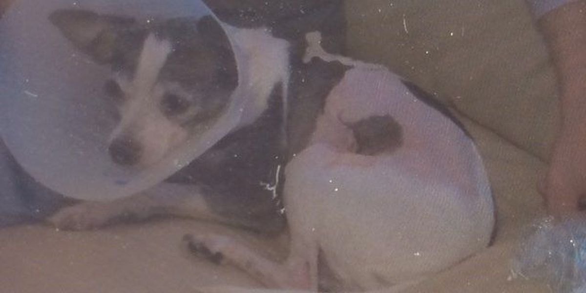 Police search for big dog that mauled Chihuahua