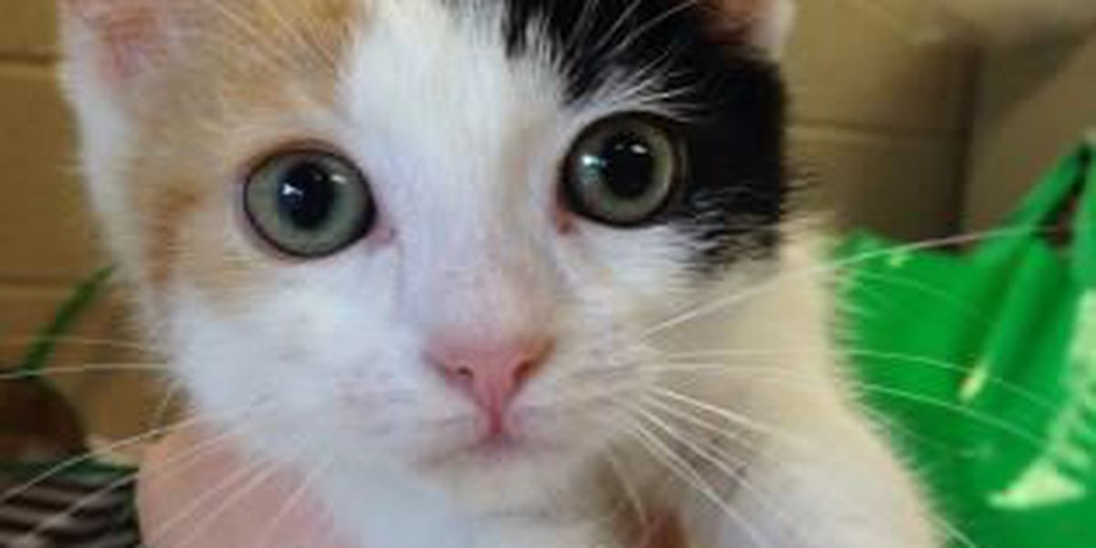2 kittens need Furever Homes: Cleveland APL Pets of the Week