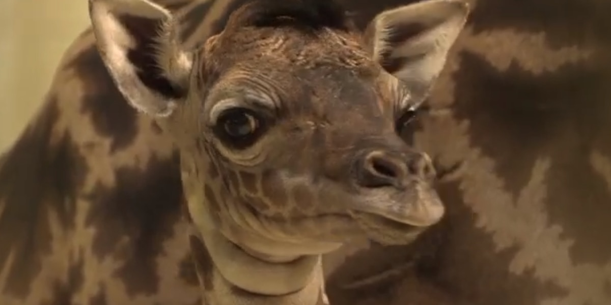 It's a boy! Cleveland Metroparks Zoo announces naming contest for new baby giraffe