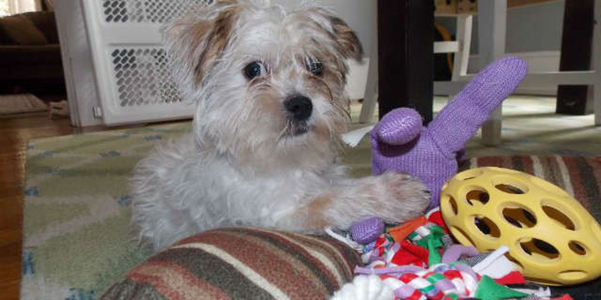 Saving Monte: A Shih Tzu puppy goes from abused to admired