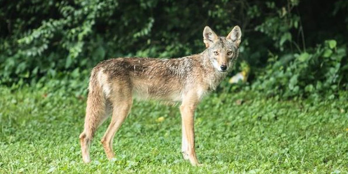 Brooklyn Heights Police working to trap 'aggressive' coyote