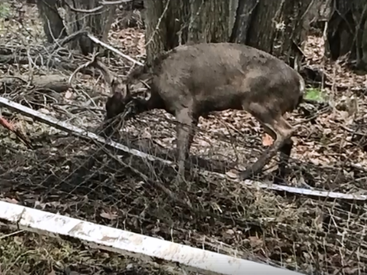 Brunswick Police save buck caught up in soccer net