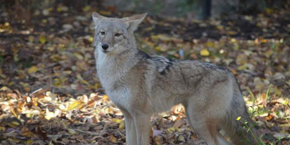North Royalton police issue funny Facebook warning about coyotes