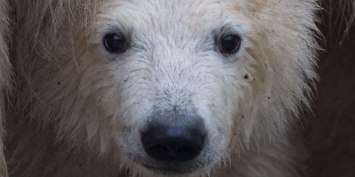 Columbus Zoo and Aquarium polar bear cub makes its debut (video)