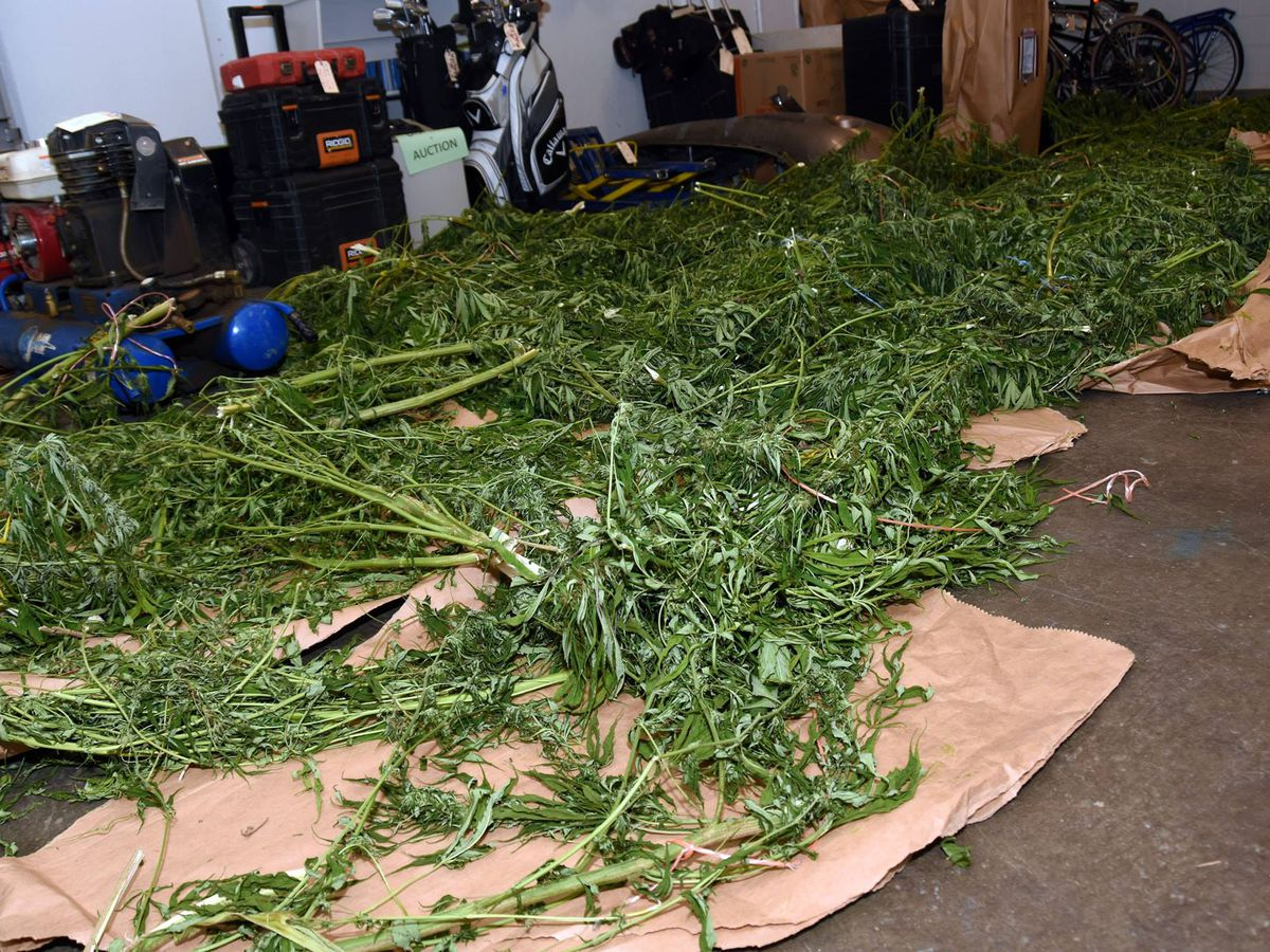 Deputies seize 500 pounds of marijuana, 95 plants, 43 cats during bust in Ohio