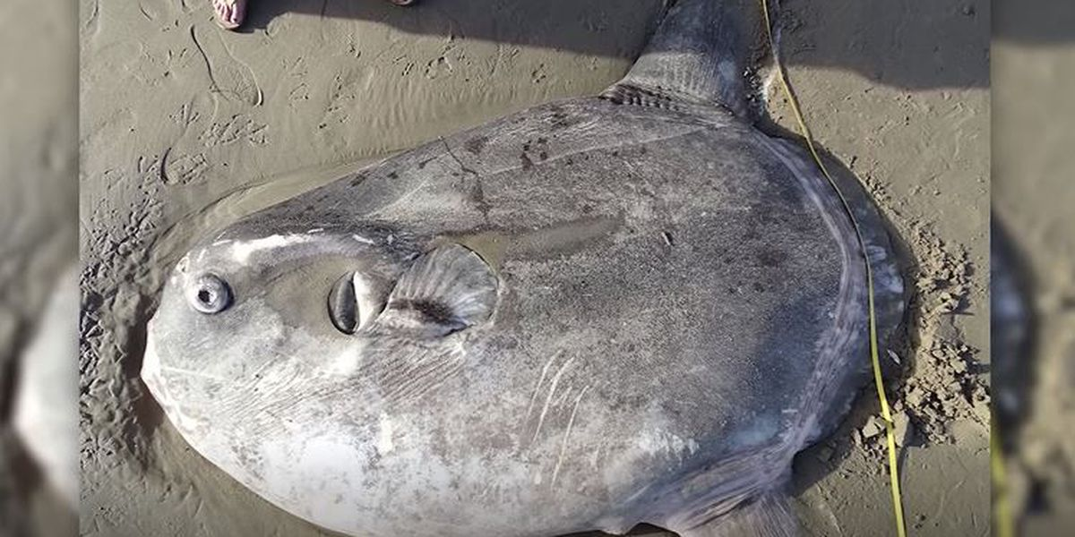 Rare Giant Sunfish Mysteriously Washes Up on California Beach