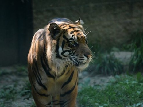 Akron Zoo responds after tiger formerly kept their facility attacks zookeeper in Topeka, KS