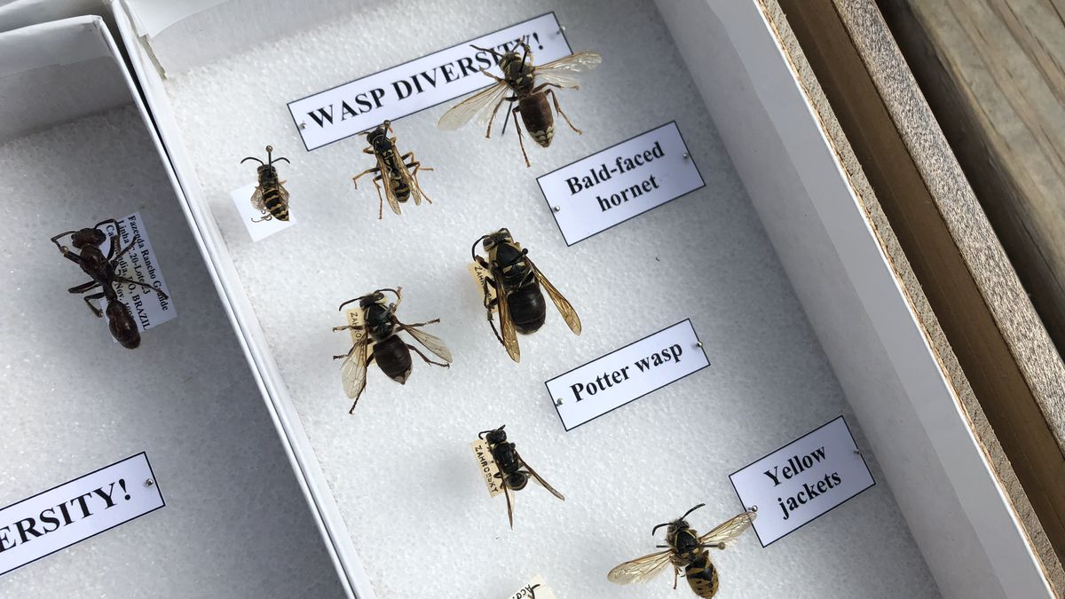 Stinging insects in Northeast Ohio about to die before winter (except for one)