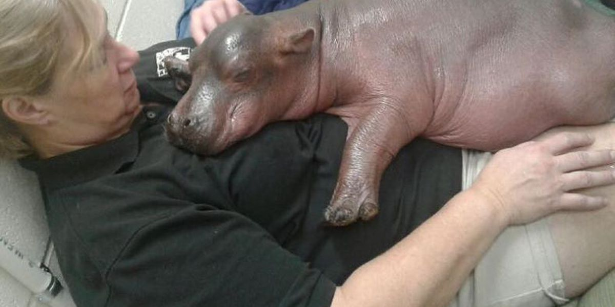 Cincinnati Zoo's baby hippo to star in Facebook video series