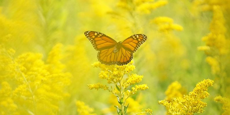 The annual Monarch butterfly migration is happening inside the Cleveland Metroparks