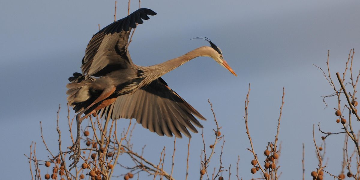 Northeast Ohio-native Great Blue Herons return to Cuyahoga Valley National Park (photos)