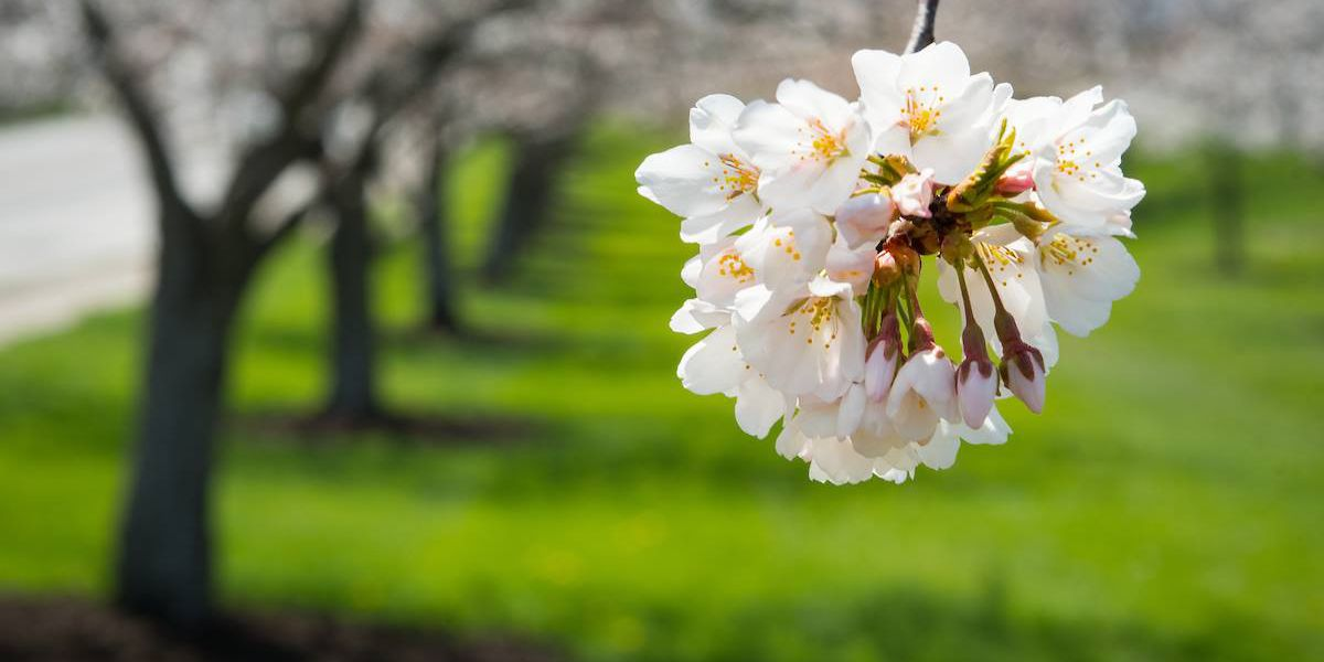 Stroll down 'blossom lane' under the Cherry trees in Northeast Ohio (photos)