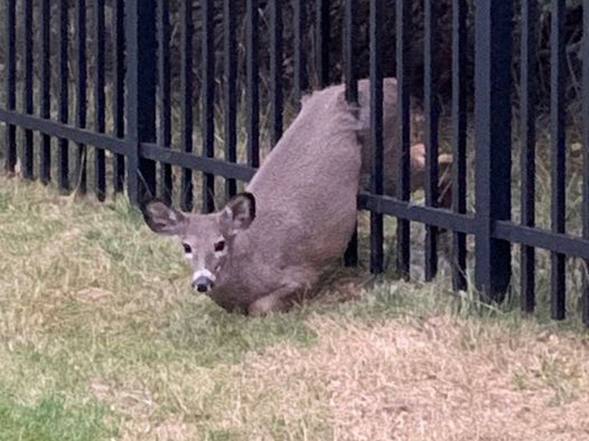 Jackson Township police, fire save deer stuck in a fence
