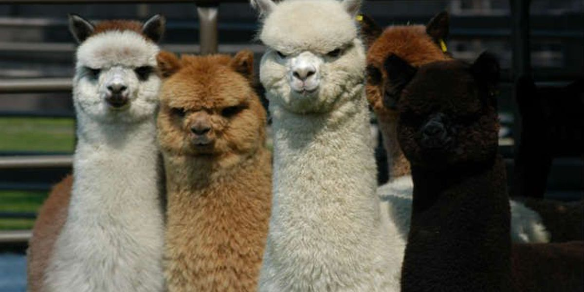 Hundreds of alpacas convene for the Annual Buckeye Alpaca Show (VIDEO)