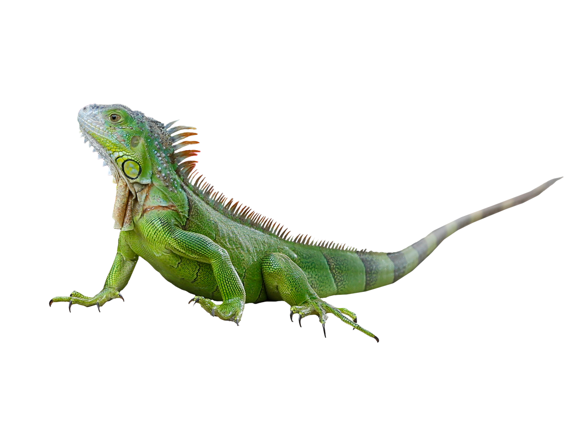 It's so cold in Florida tonight that iguanas may fall from the trees