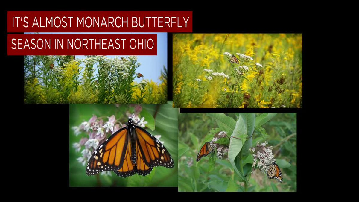 Monarch Butterflies Are On Their Way To Northeast Ohio