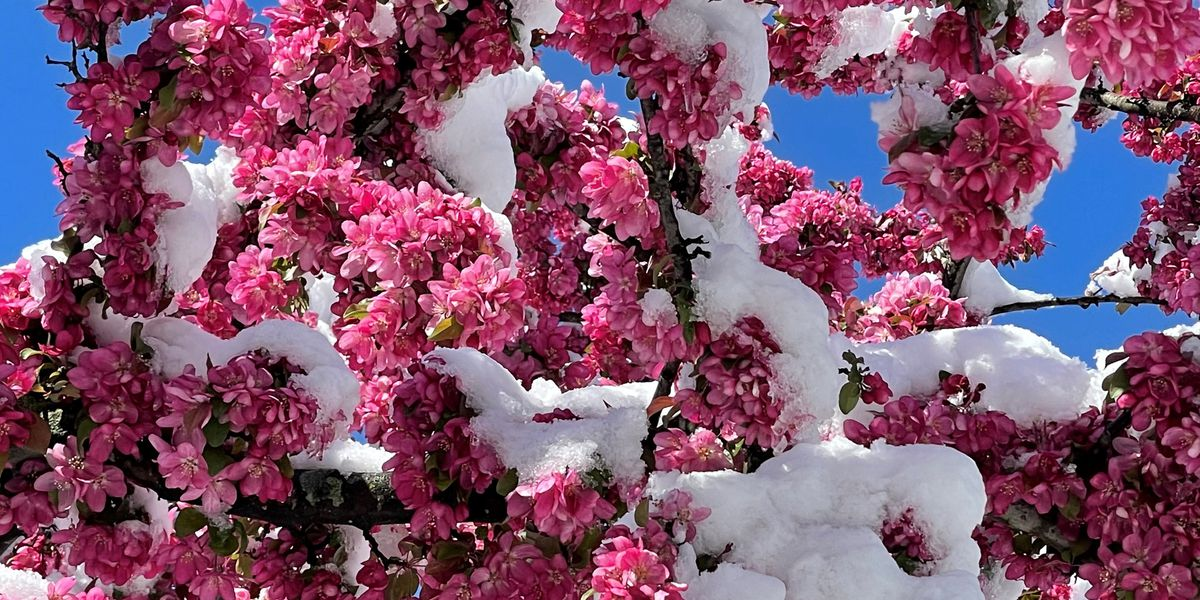 Cherry blossom trees become casualties of spring snow in Northeast Ohio