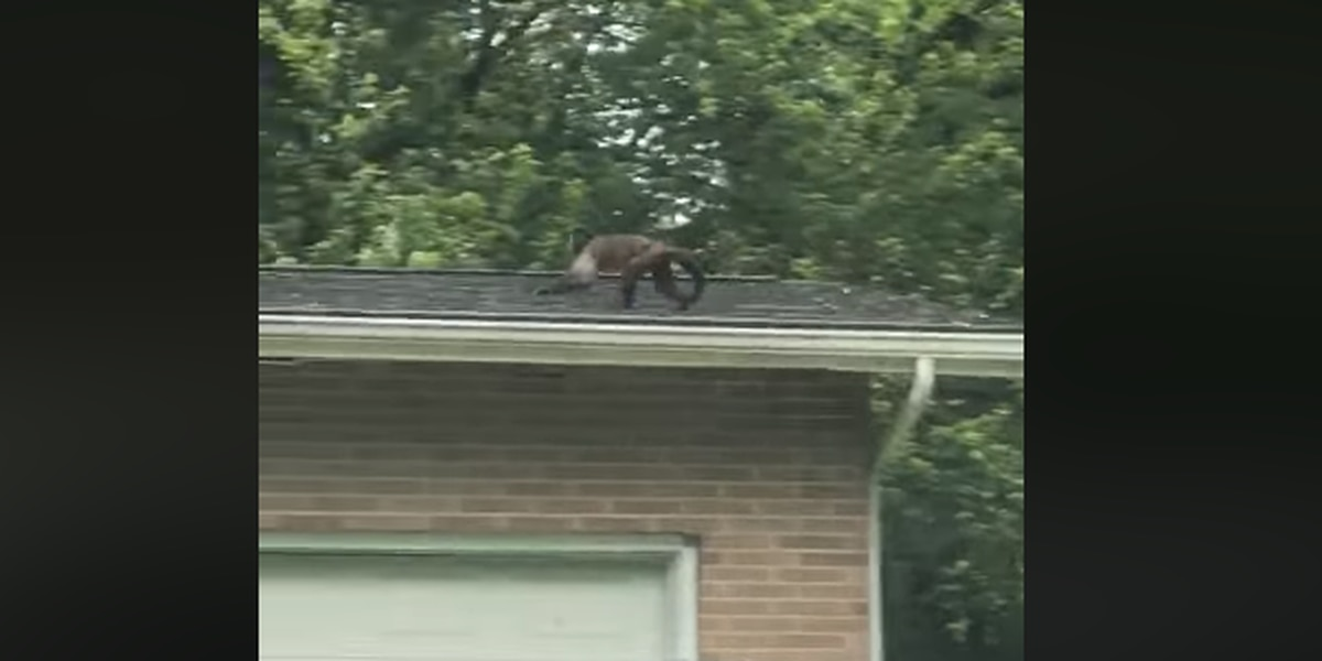 Monkey escapes from owner, eludes police in Ohio neighborhood (video)