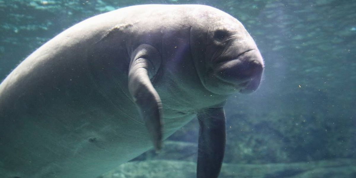 Orphaned manatees find temporary homes at 2 Ohio zoos
