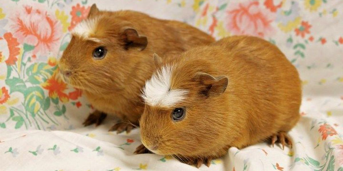 Guinea pigs rescued from makeshift pet store up for adoption
