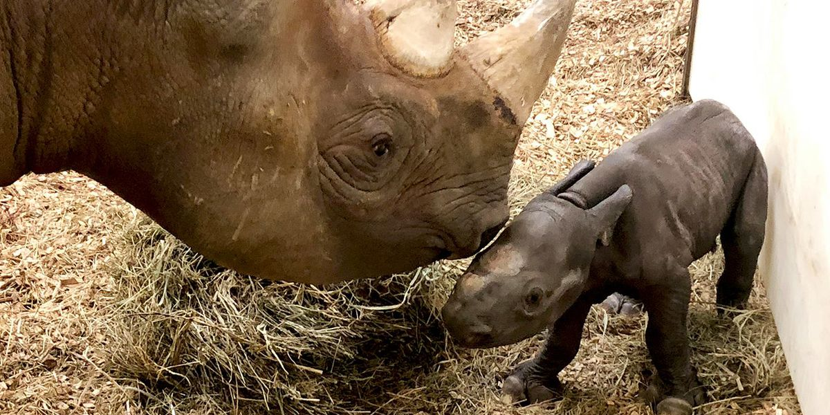 Cleveland Metroparks Zoo announces birth of newborn rhino calf