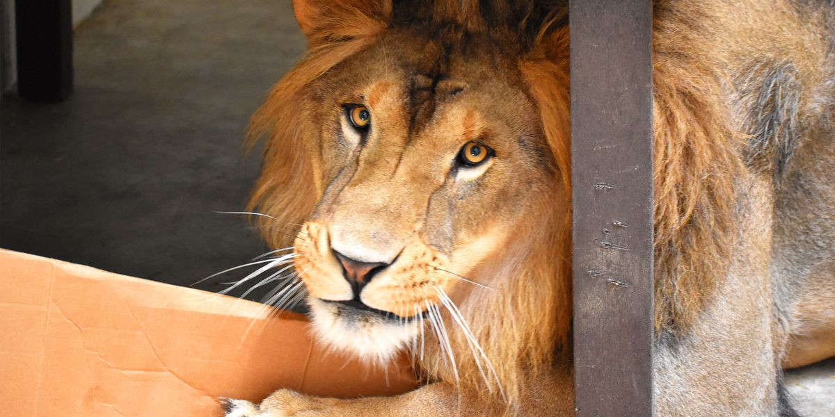 Akron Zoo acquires African Lion from the Columbus Zoo (video)