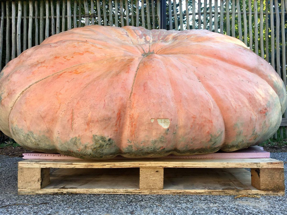 Pumpkin weighing 1,300 pounds no match for elephants at Cleveland Metroparks Zoo