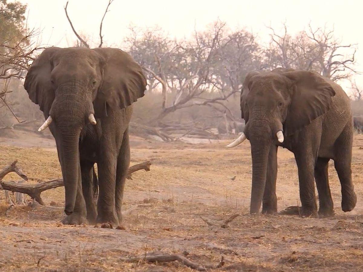 330 elephants in Botswana may have died from toxic algae