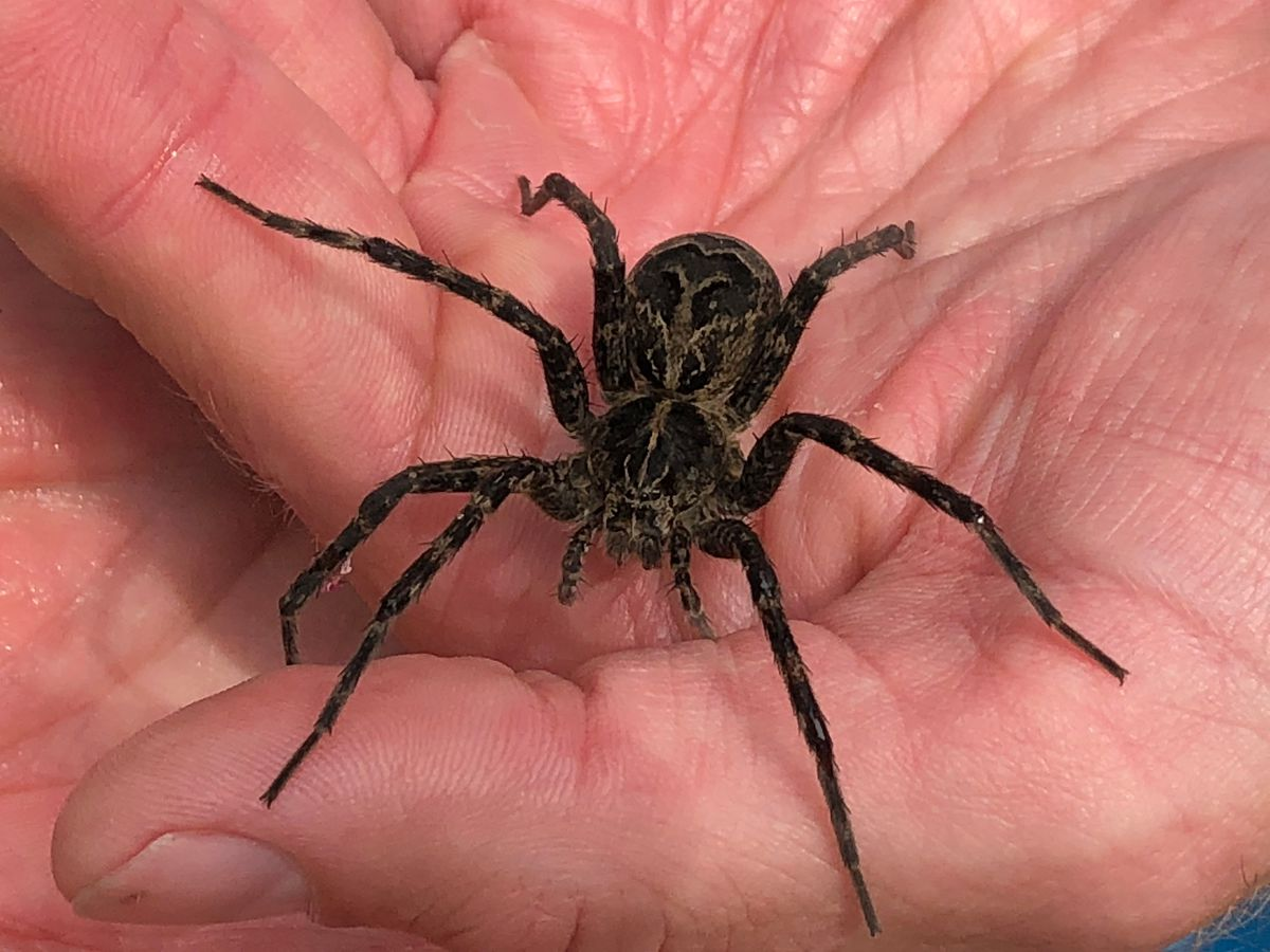Don T Freak Out Northeast Ohio But These Giant Spiders Are Probably In Your Yard And Maybe Even Your House