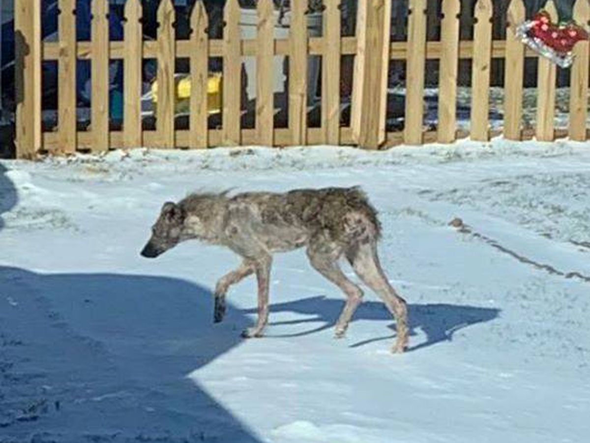 Diseased coyote spotted in Painesville Township; sheriff's office expresses concern for pets and kids