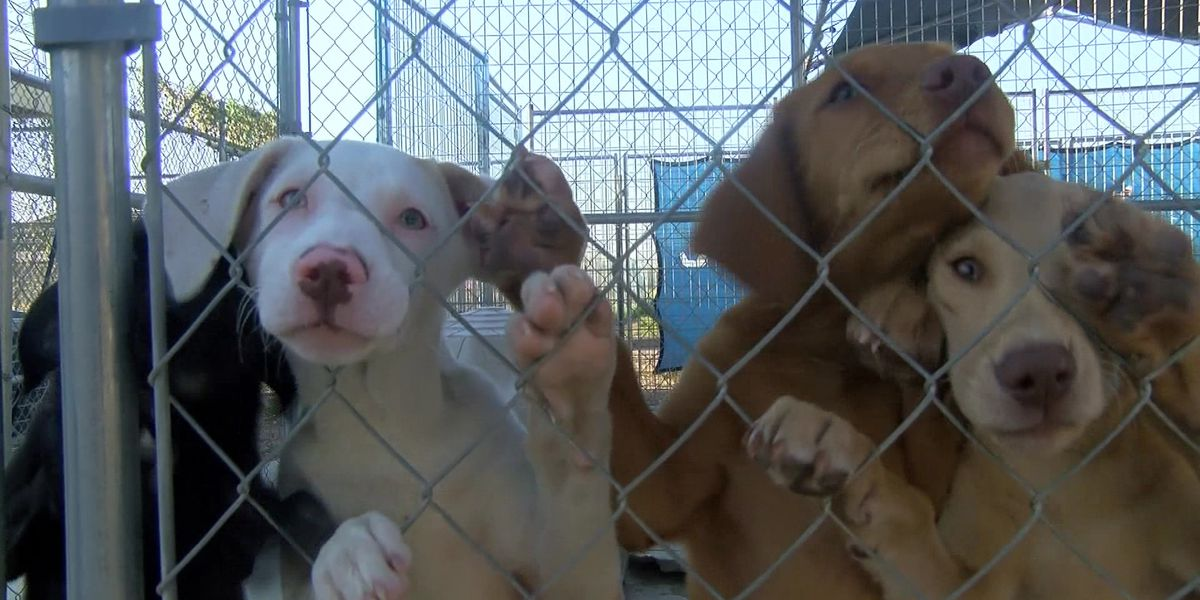 Puppies at Ohio pet stores linked to infection outbreak impacting humans, CDC warns