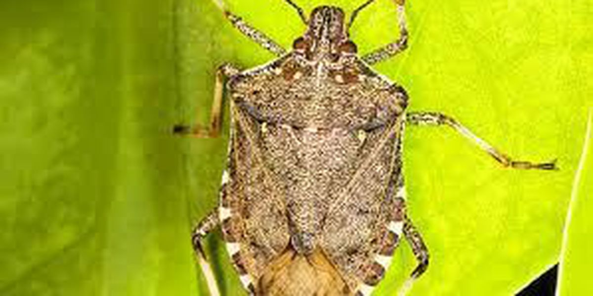 Stink bugs in Ohio look for a way inside before winter hits