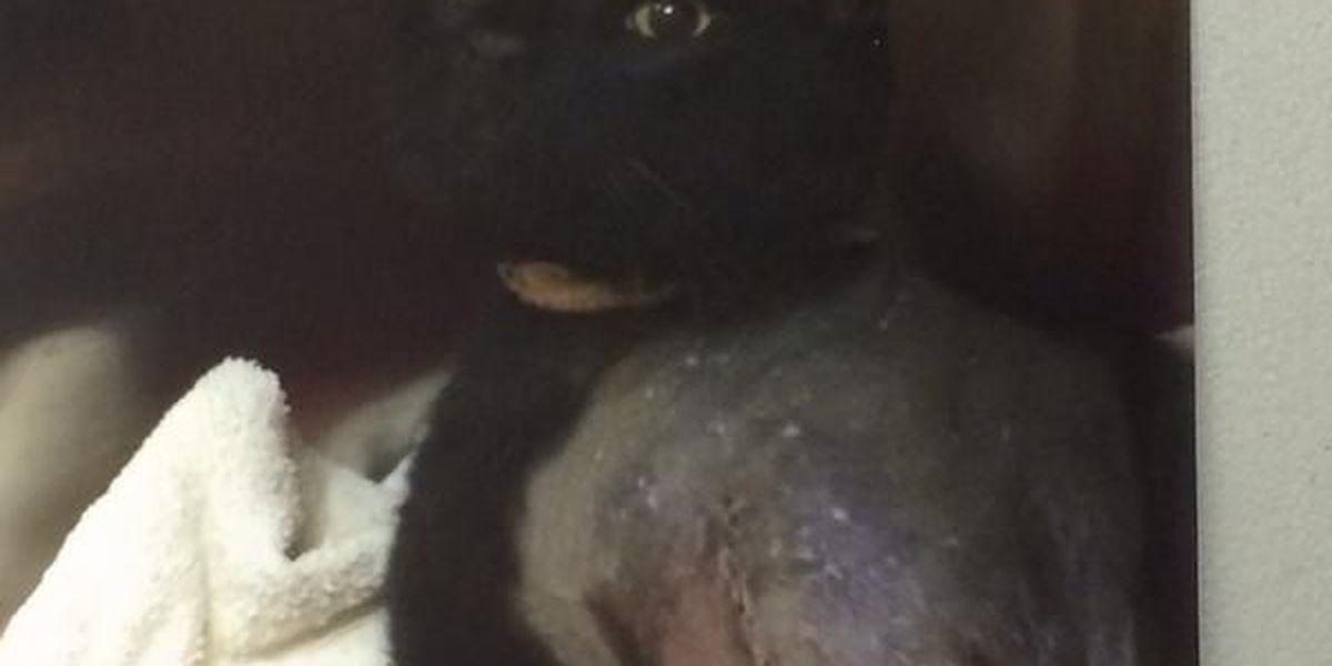 Reward offered after pet cat shot by pellet gun