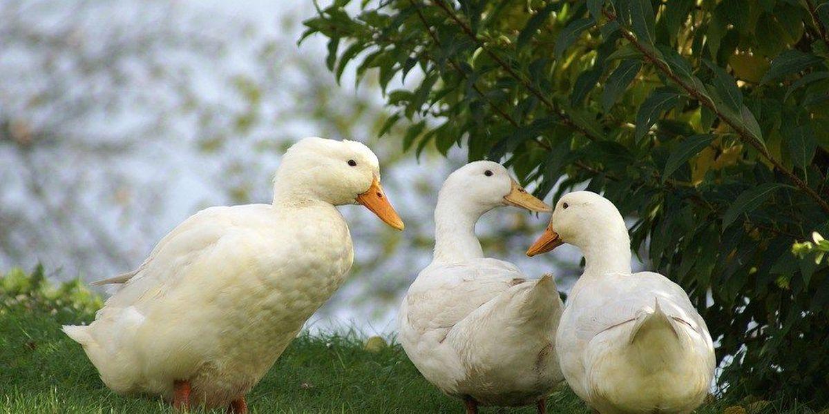 Ohio veteran can keep ducks to relieve PTSD, depression