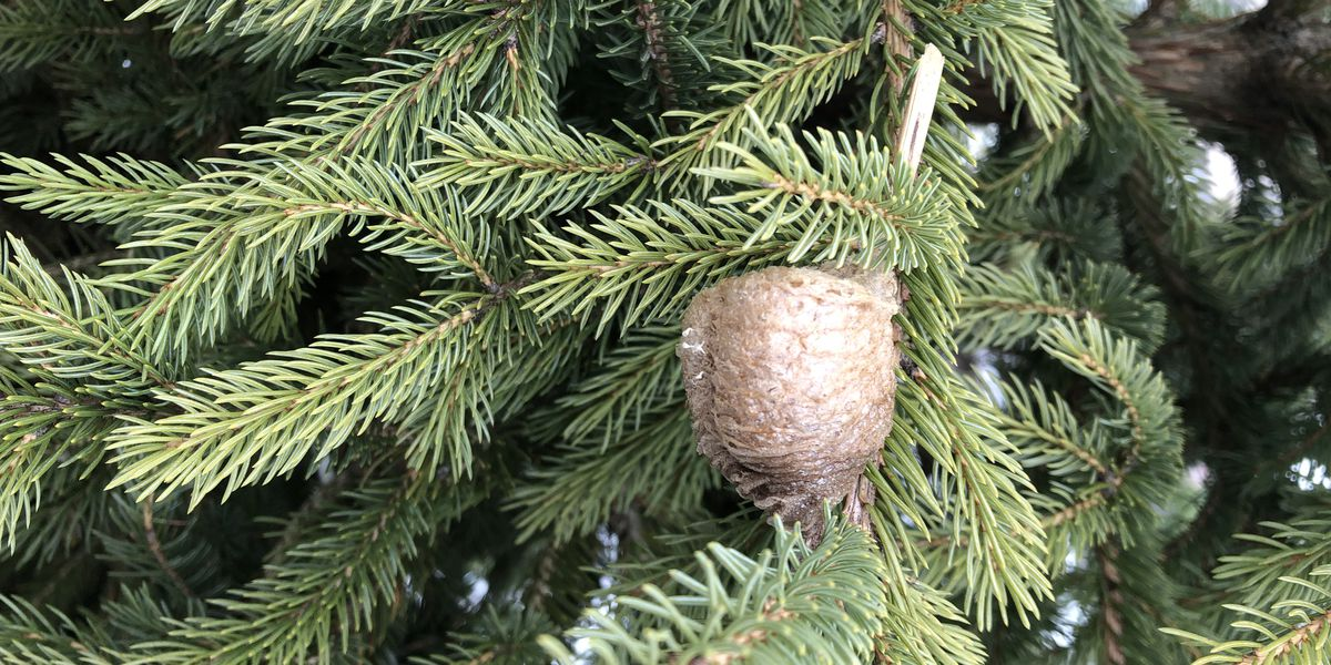 Ohio bug expert warns insect egg cases could be in your Christmas tree