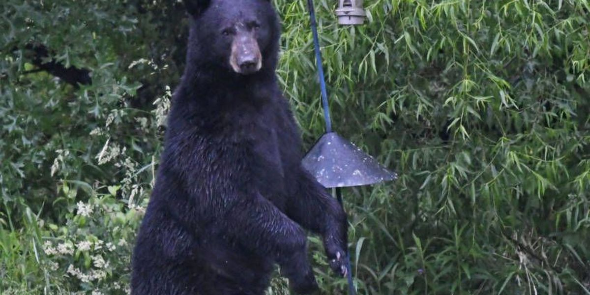 Black bear spotted in Wadsworth neighborhood