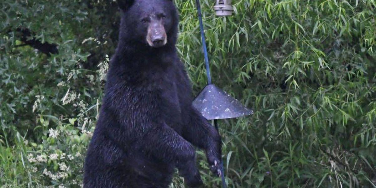 Black bear spotted in Wadsworth neighborhood