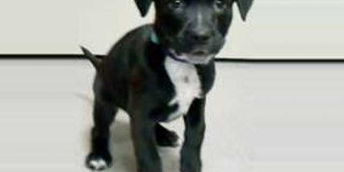 Stolen puppy returned to the Cleveland APL