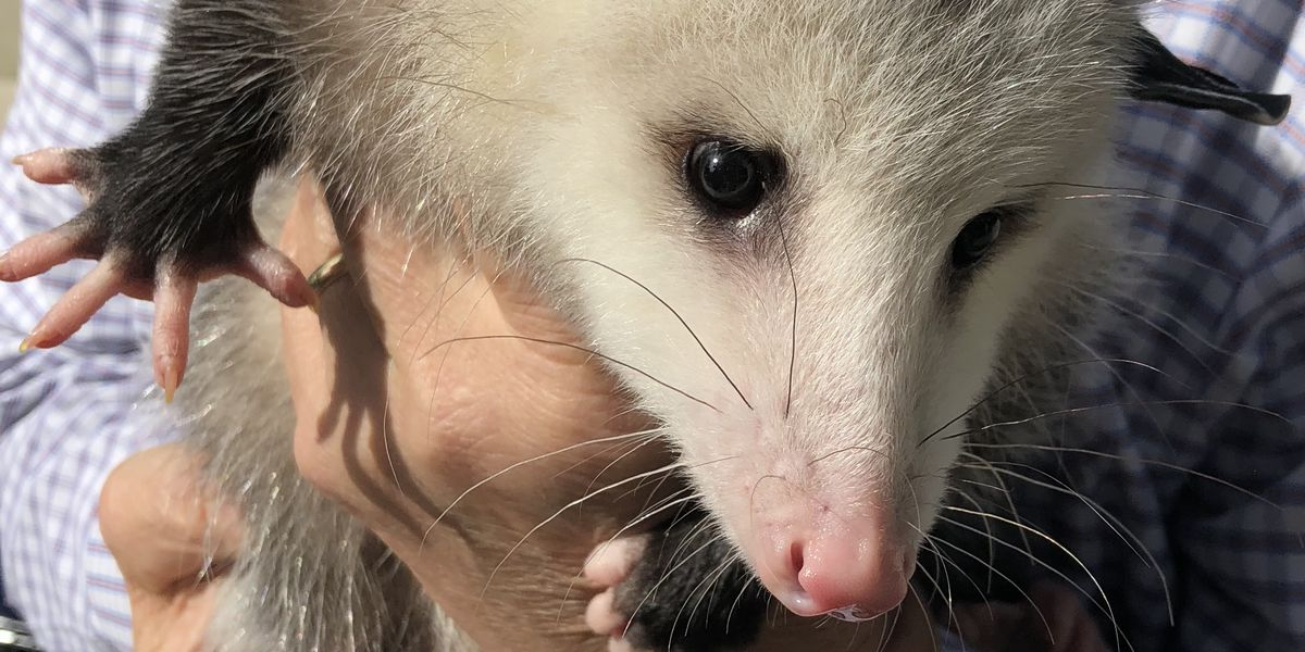 Cleveland Browns FirstEnergy Stadium is actually the perfect place for an opossum to live, feed on half eaten hot dogs