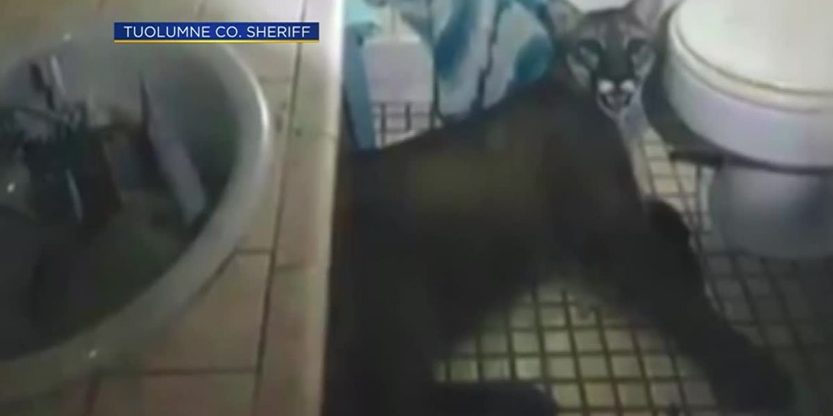 Mountain lion gets trapped in California home