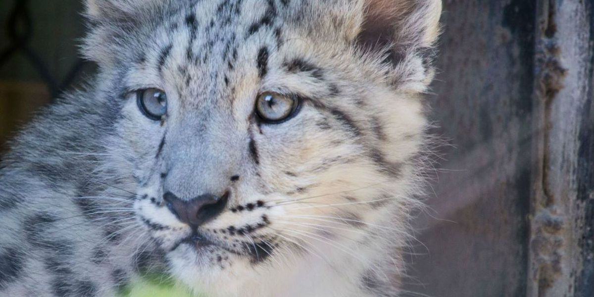 New snow leopard on display at Toledo zoo; 2nd cub euthanized