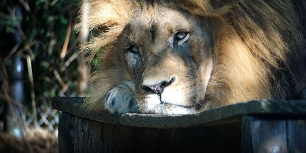 Akron Zoo's new lion pride ready to debut