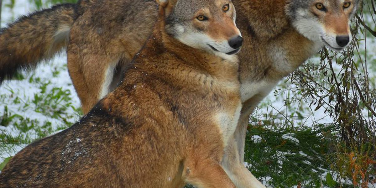 Akron zoo welcomes pair of critically-endangered red wolves