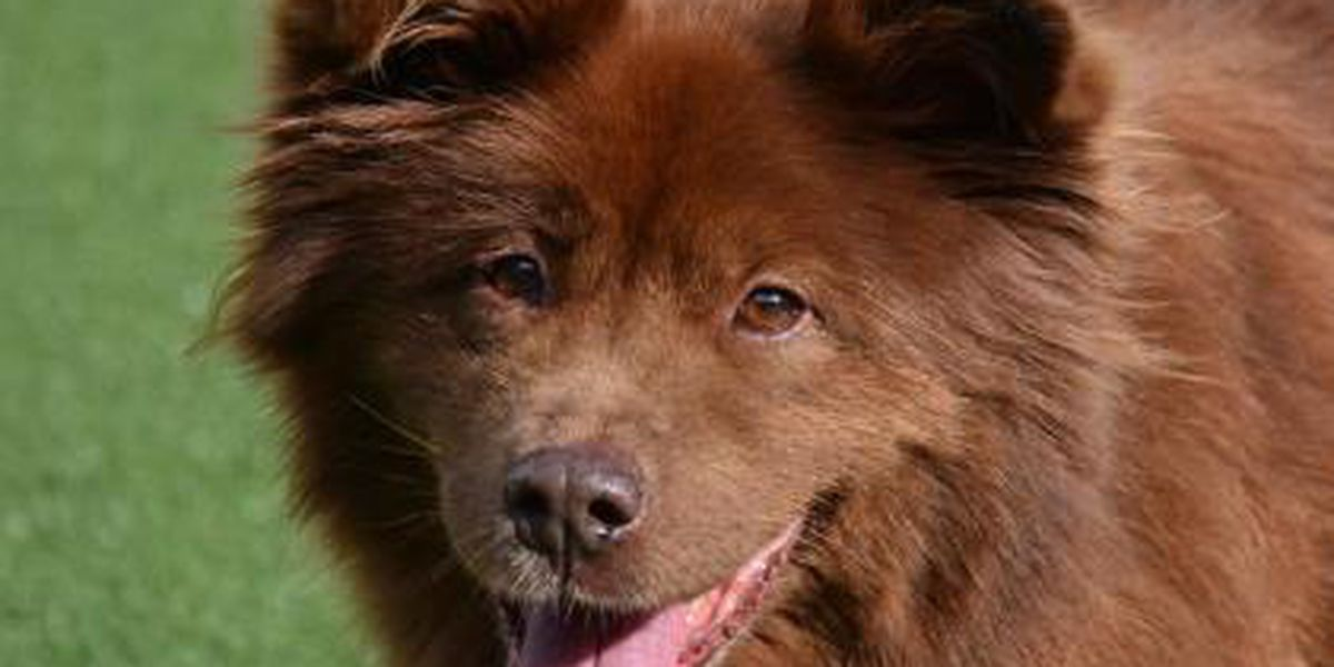 Cleveland APL Pet of the Week: Chocolate is one big, fluffy ball of love