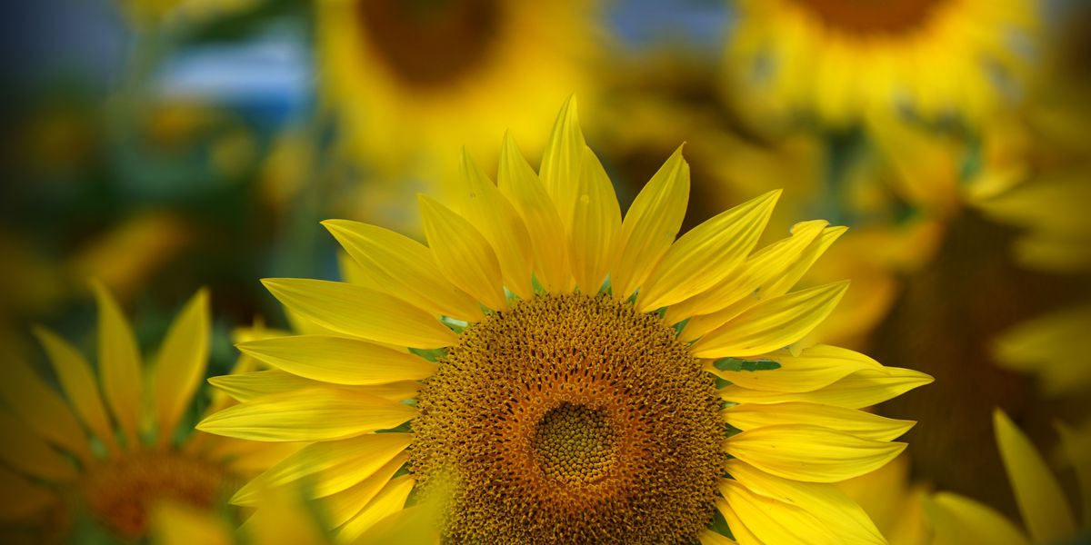 Sunflowers in full bloom at Maria's Field of Hope in Sandusky, Avon field has just started to bloom (photos)