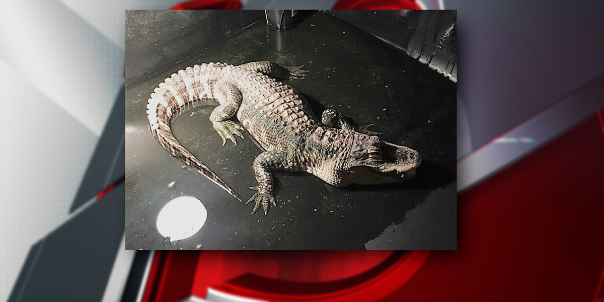 Madison Police Department says 'See you later alligator' to reptile found in residence